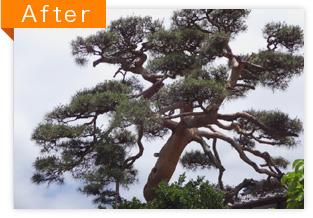 赤松の剪定作業(AFTER)
